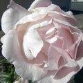 fleurs-roses (3)