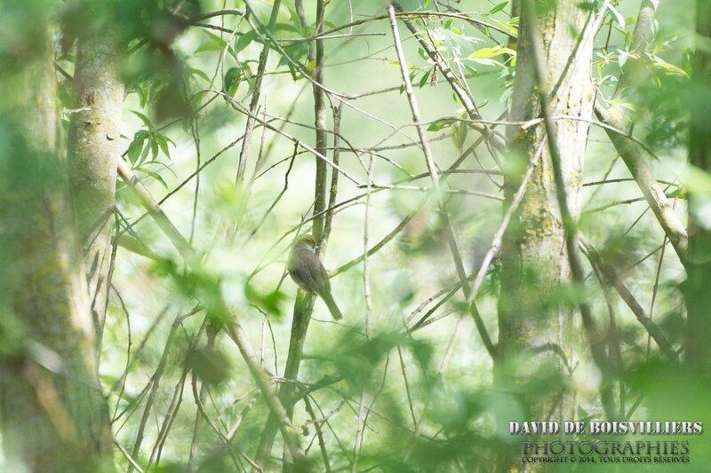 Fauvette à tête noire (Sylvia atricapilla - Eurasian Blackcap)