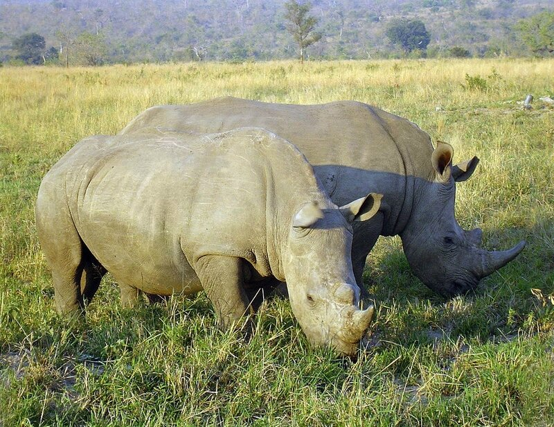 1024px-Rhinoceros_in_South_Africa_adjusted