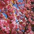 Branche_fleurie_cerisier_Japon