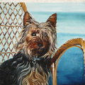 Aston - silky terrier