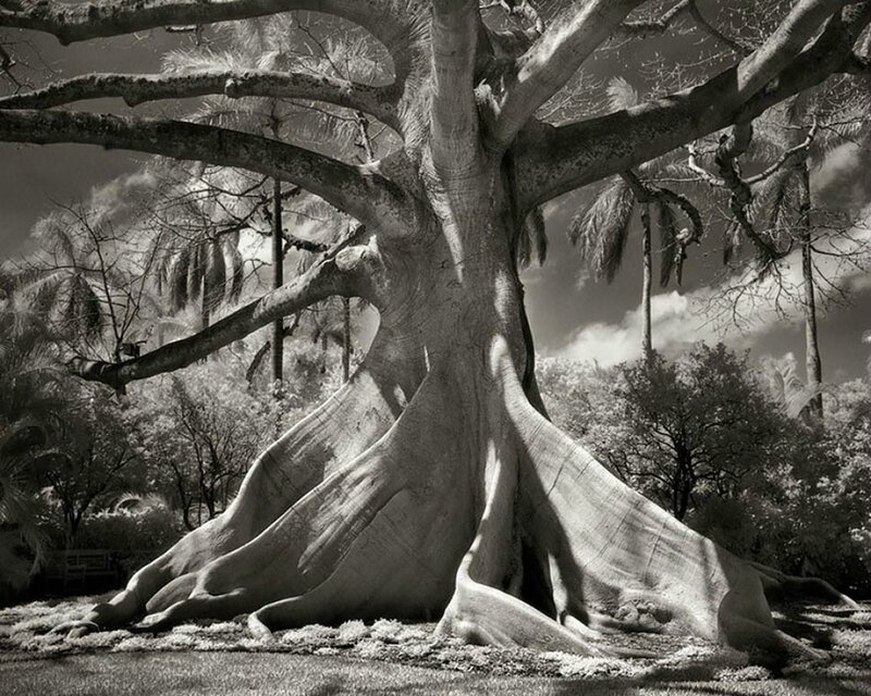 Ancien-arbre-3 - Copie
