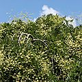 Sophora fleurs_13 10 08_9180