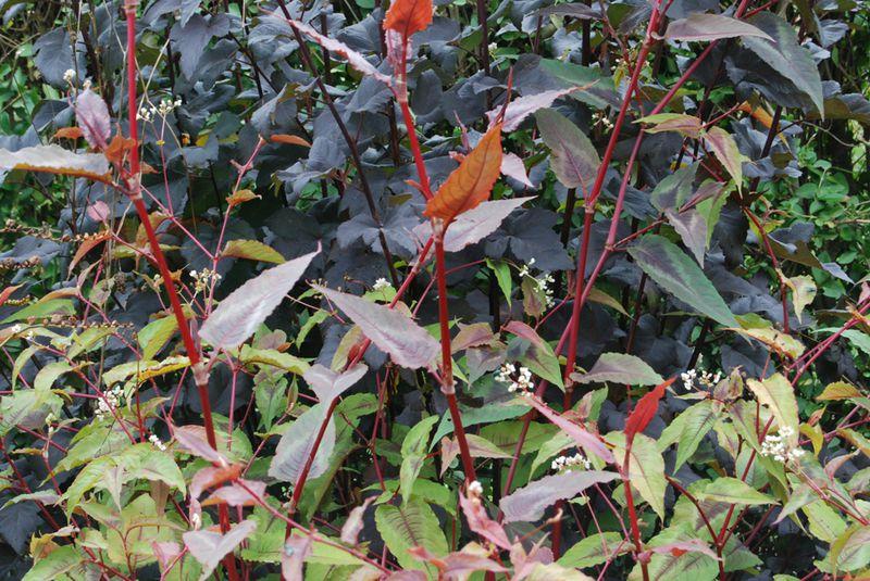 2013-0920_Physocarpus 'Diabolo'_persicaria 'Red Dragon'