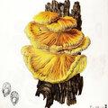 Laetiporus sulphureus Becker p. 299
