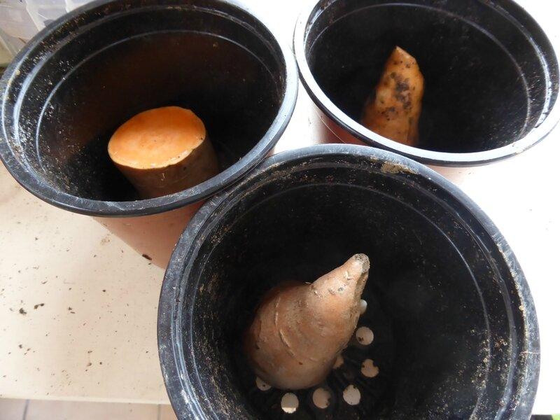 31-patates douces (4)