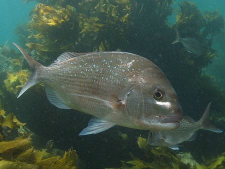 Image%207%20Snapper%20at%20Goat%20Island%20marine%20reserve