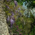 Pérouges glycine_8227