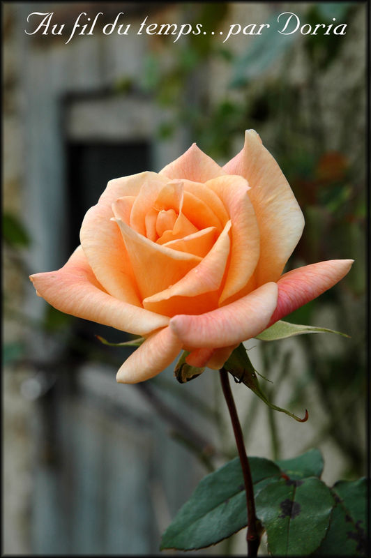Rose_orange_copie
