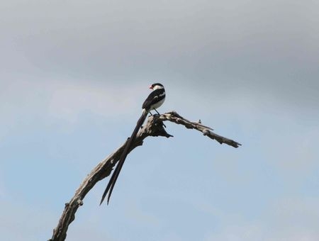 pin_tailed_whydah