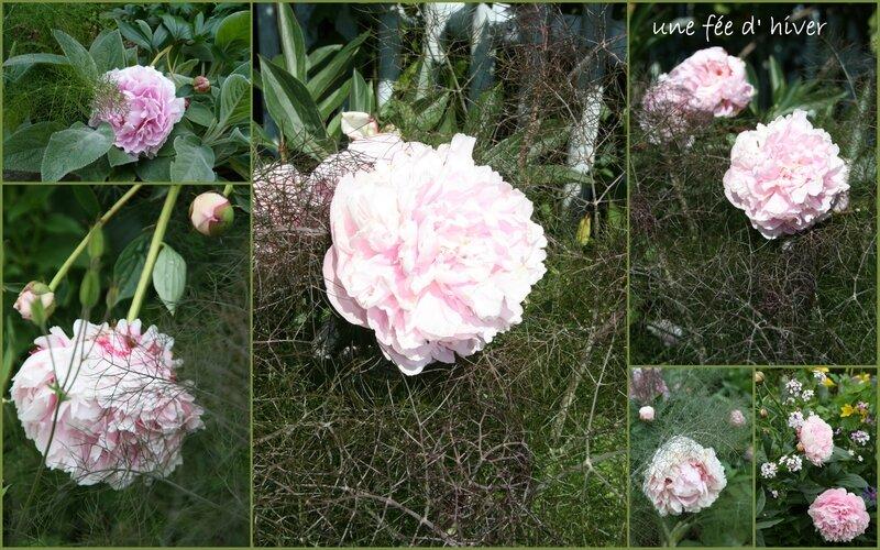 PIVOINES Mon Jardin3