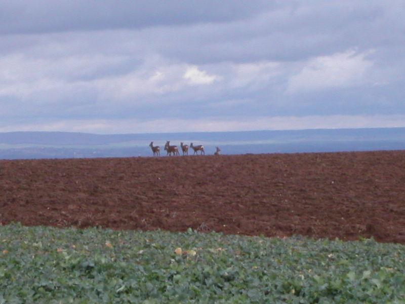 Chevreuils en plaine