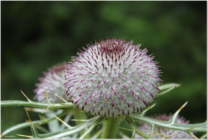 fleur enc 8