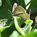 Neozephyrus quercus ( Thécla du chêne)