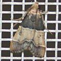 Pyralis pictalis