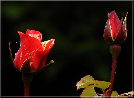 1_rose_lumi_re