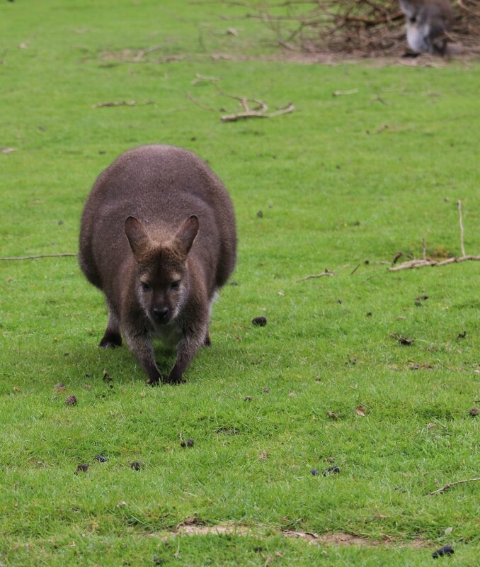 wallaby8