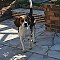 Mes beagles