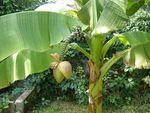 Bananier_en_fleur