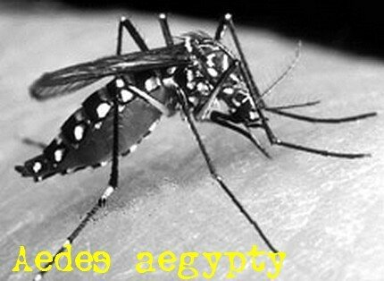 Aedes_Aegypty_4