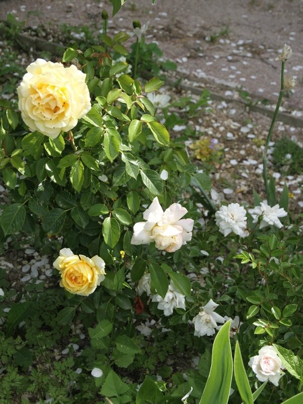 rosiers winter sun et sea foam