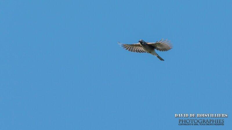 Geai des chênes(Garrulus glandarius - Eurasian Jay)