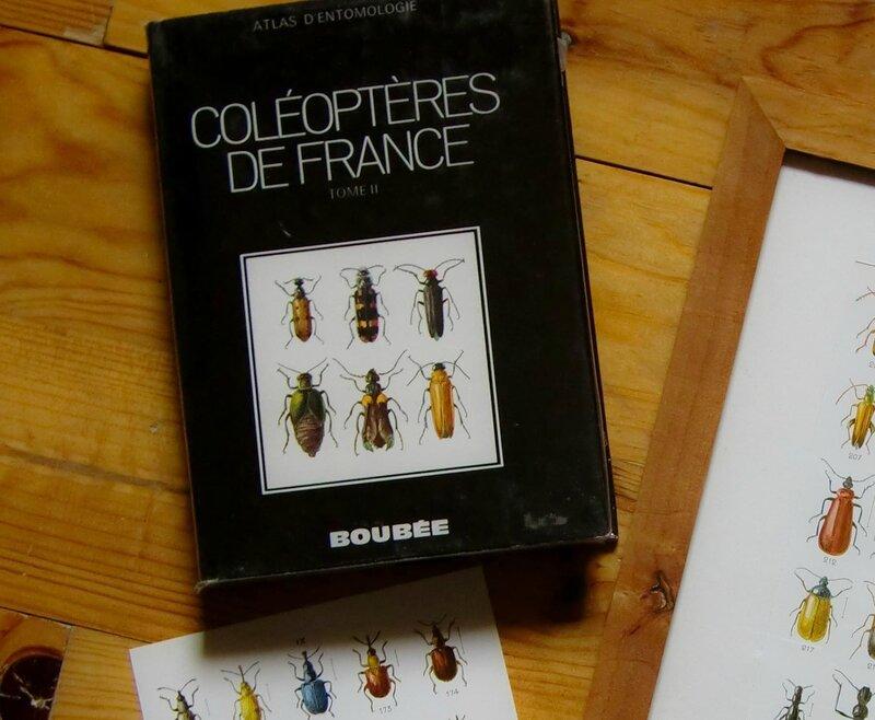 coléoptère-1