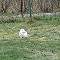 Samedi, je vous montrais un lapin bélier blanc