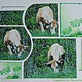 Vaches de nos campagnes