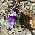 Fleur Pensées