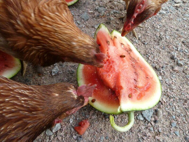 10-pastèque et poules (19)