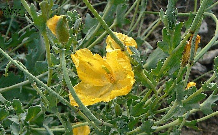 corolle de 4-6 cm 4 pétales jaunes