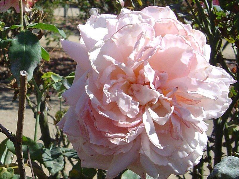 roses_lyonnaises-Souvenir_du_President_Carnot