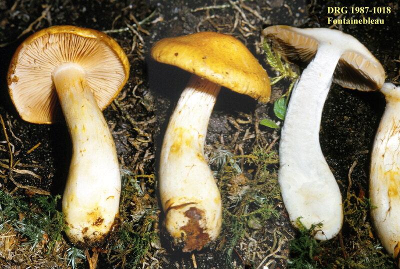 Cortinarius_cephalixus_1987_1018_Fontainebleau__Mont_