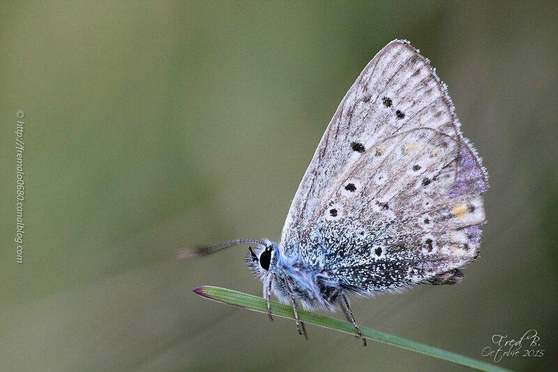 Lycaenidae indéterminé