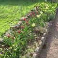 Allée de tulipes et jonquilles