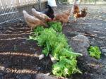5-poules et salade (8)