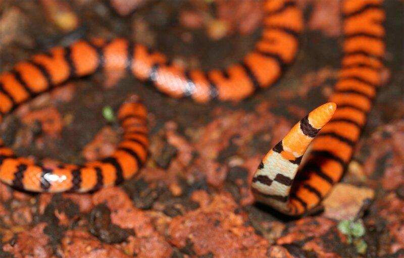 Anilius scytale - Serpent deux têtes
