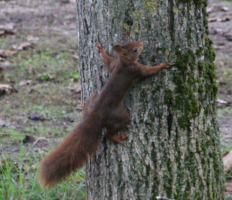 écureuil sur le tilleul