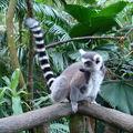 4- le zoo, lémuriens, makis (3)