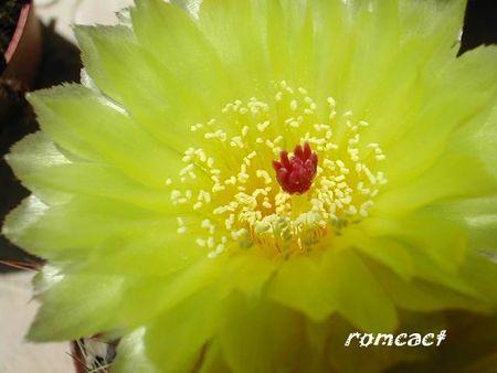 Notocactus_ottonis_fleurs__1_