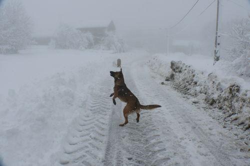 2008 12 15 Kapy qui saute pour attraper la neige que je lui lance