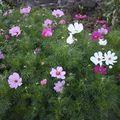 2009 07 26 Cosmos en fleurs