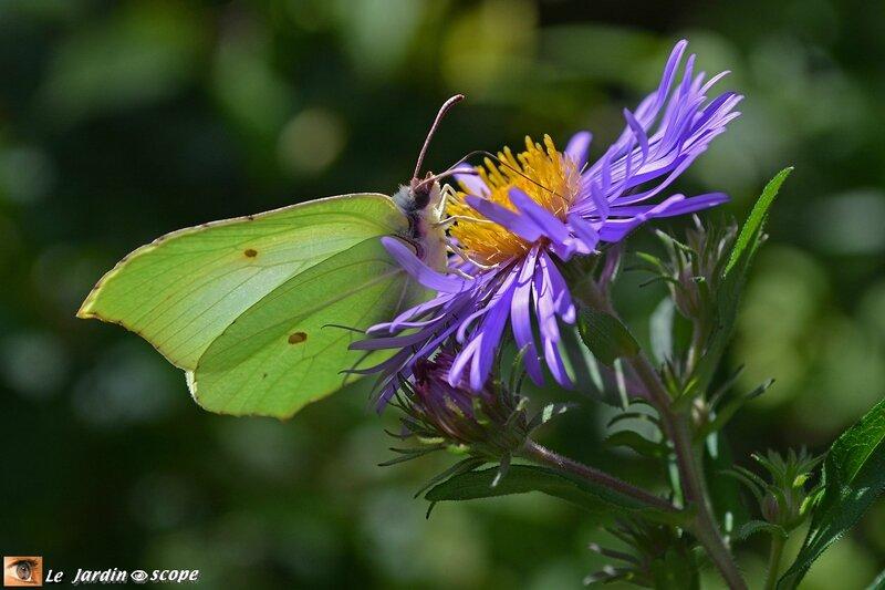 Citron • Gonepteryx rhamni