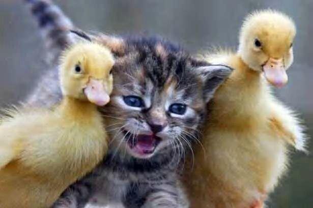 de_DL6BL-24-cat_with__ducks