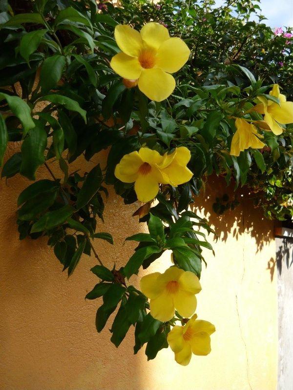 allamanda fleur jaune