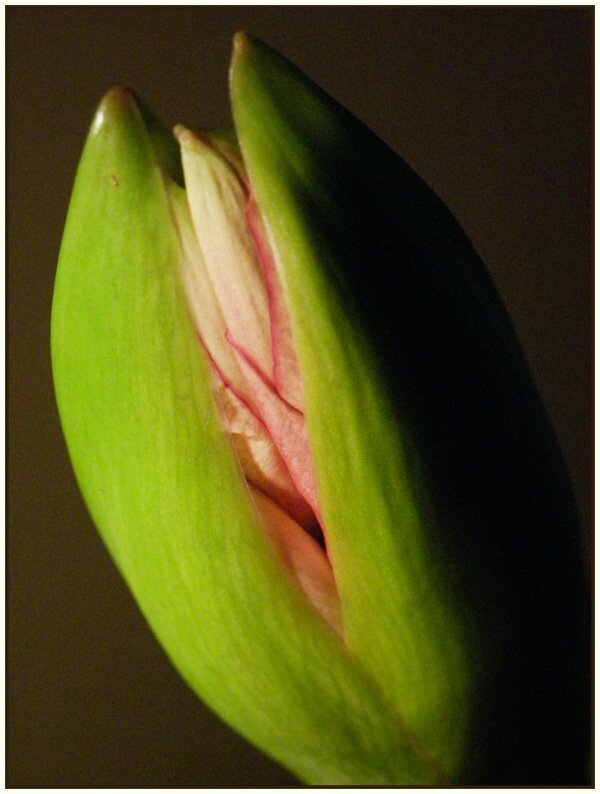 L 39 amaryllis commence faire un beau clin d 39 oeil for Garder un amaryllis