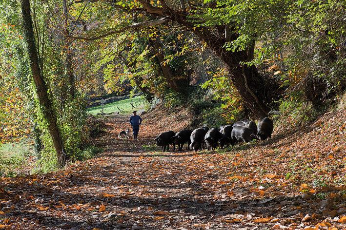 Porcs_noirs_en_liberte