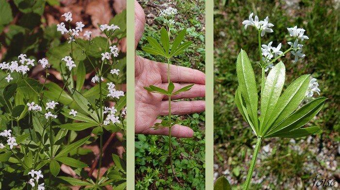 tige quadrangulaire munie d'un anneau de poils sous les verticilles foliaires