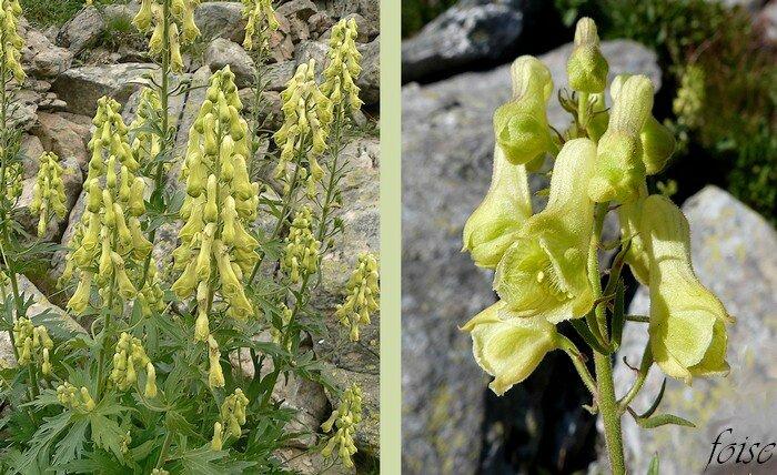 fleurs jaune en grappes pédoncules étalés